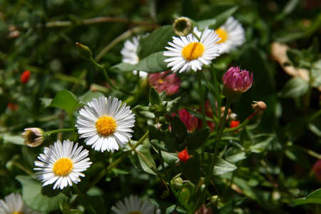 Three white flowers of camomile.Chamomile or camomile is a common name for several daisy-like plants. Stock Photo - 5340682