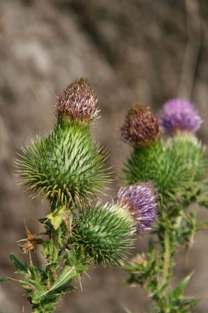 characterised: Thistle is the common name of a group of flowering plants characterised by leaves with sharp prickles Stock Photo