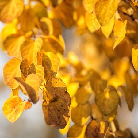 tree in autumn: Autumn yellow leaves of poplar. Defocused picture