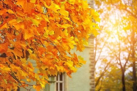 quaking aspen: Autumn yellow leaves of maple. Autumn time at sunset