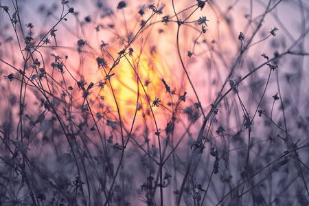to field: Dried flowers on a background sunset. Shallow depth of field