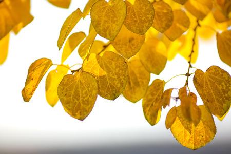 quaking aspen: Autumn yellow leaves of poplar. Defocused picture