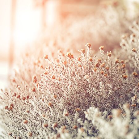 frozen flowers. frost on flowers. Group of flowers at sunset