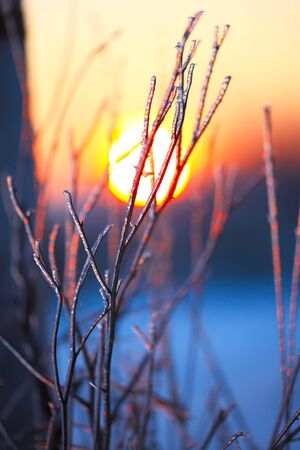white winter: frozen plant. ice on plant at sunset