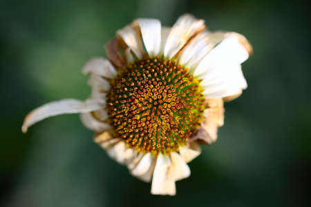 hope: withered daisy in the garden. View from the top Stock Photo