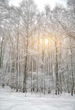 winter forest: Snow-covered trees in the city park. Sunset