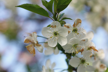 white blossom: apple blossoms  in sunlight. Close up shoot. Stock Photo