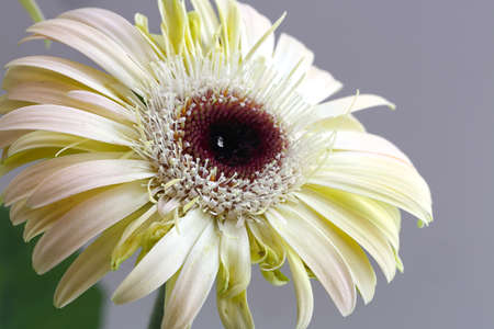 flowerpower: white flower of gerbera. Close up shoot Stock Photo