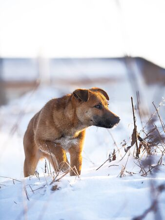 foreleg: young puppy on snow in winter. portrait at sunset Stock Photo