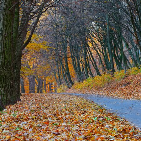 myst: Trees in autumn forest. Fallen leaves Stock Photo