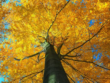 the view from below: Colorful autumn tree in forest. view from below