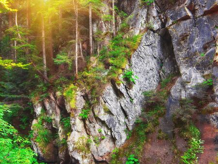 folliage: forest with pine trees and moss on rocks. Sunset time