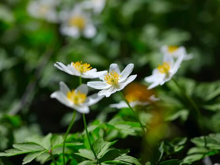 flowers close up: Anemone sylvestris. First spring flowers. Close up