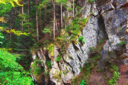 folliage: forest with pine trees and moss on rocks. Green folliage Stock Photo