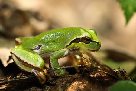 green tree frog: Green Tree Frog in its environment. Close up