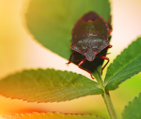 shield bug: Shield Bug Or Stink Bug on plant. Extreme close up