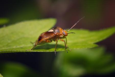 leaf close up: Brown bug sitting on the green leaf. Close up