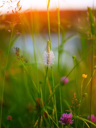 plantain: Common plantain on meadow. Sunset time. Shallow depth of field