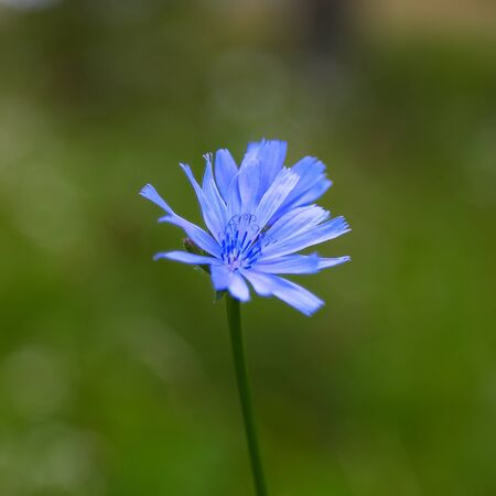 chicory coffee: Single Chicory flower on the abstract green background