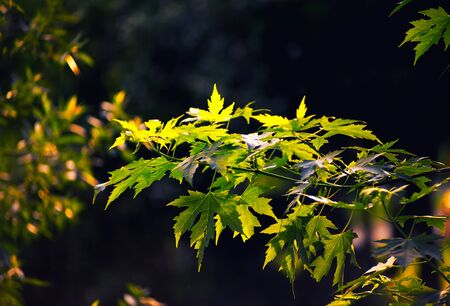 shinning leaves: Large fresh green maple leaves with sun shinning through. Black background
