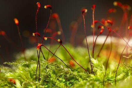 spores: macro shot of some moss spores absorbing raindrops.