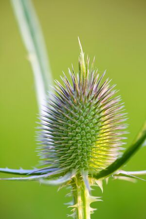 mariano: wild milk thistle. Close up on Green background