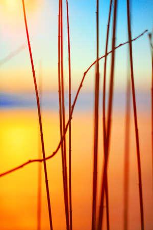 ance: sagoma di canne al tramonto.