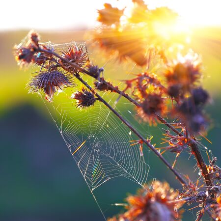 thistle plant: Web of a spider against sunrise in the field on thistle plant Stock Photo