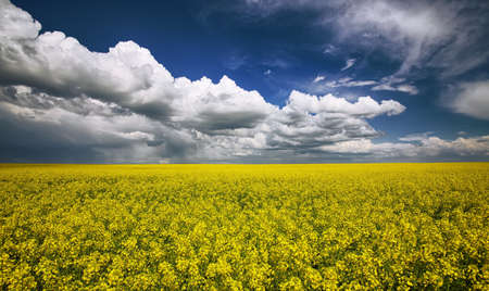 flowering field: flowering field of colza outdoors in spring. Dramatic blue sky