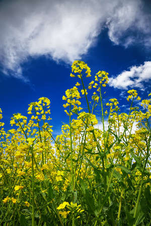 flowering field: flowering field of colza outdoors in spring. Dramatic blue sky. Close up