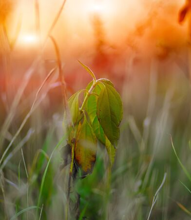 fading: fading green plant on sunset. Shallow depth of field