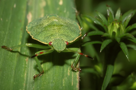 prasina: Shield Bug On A leaf. Extreme close up shoot. Hemiptera