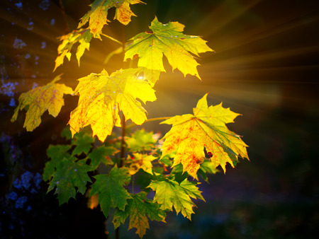 shinning leaves: Large fresh green and yellow maple leaves with sun shinning through. Black background Stock Photo