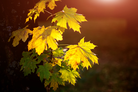 Large fresh green and yellow maple leaves with sun shinning through. Black background Stock Photo