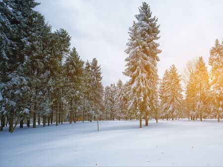 Christmas trees covered with snow in the city park. Snowstorm at sunset