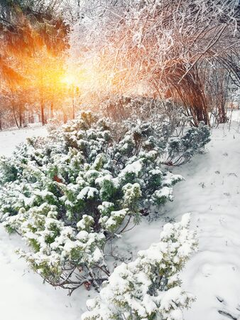 Snow-covered bushes at sunset. Frosty sunset