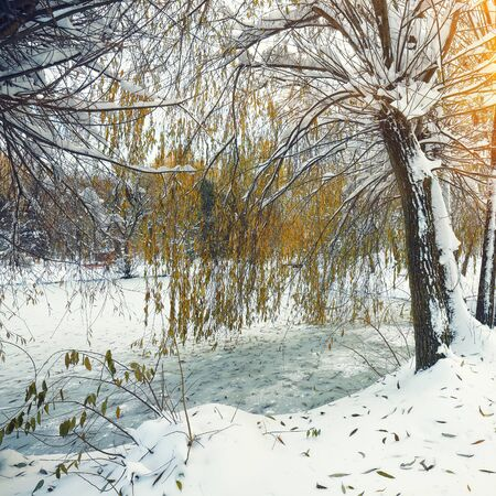 flurry: Scenic view of the frozen pond with willow tree and first snow. Green Leaves on the Snow
