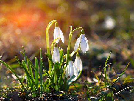 Fiori di primavera innevata che fioriscono in giornata di sole. Profondità di campo. Tramonto