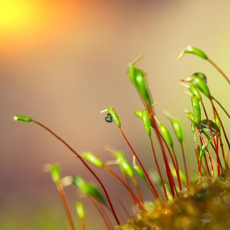 macro shot of some moss spores absorbing raindrops. Shallow depth of field