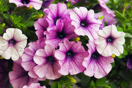 purple petunia flowers in the garden in Spring time. Shallow depth of field Stock Photo