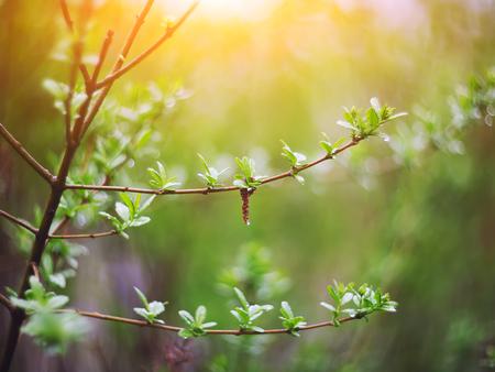 ぼやけた春背景、若い枝に葉と芽 写真素材