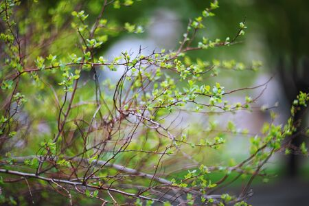 blurred spring background, young branches with leaves and buds
