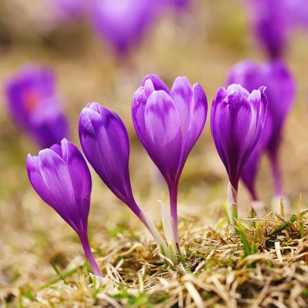 View of blooming spring flowers crocus growing in wildlife. Purple crocus growing. Stock Photo