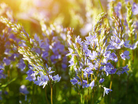 Fresh green thyme herbs with violet flowers growing in the meadow. Flowers of thyme in nature