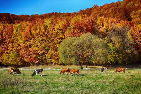 Country scenery on late autumn season. Blue sky. Cows grazing
