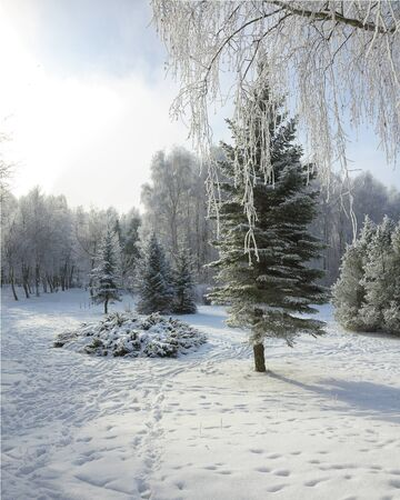 Snow-covered trees in the city park. Beautifull pine trees. tracks on the snow Stock Photo