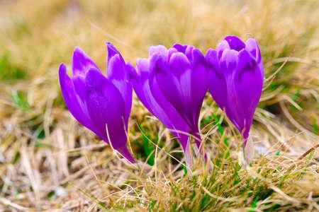 Purple crocus flowers in snow awakening in spring to the warm gold rays of sunlight
