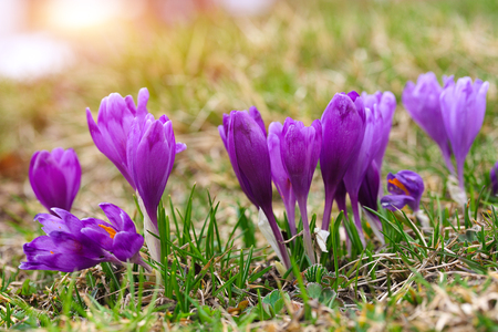 Purple crocus flowers in snow awakening in spring to the warm gold rays of sunlight Reklamní fotografie - 95850989