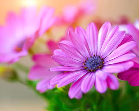 Vibrant beautiful purple daisies. Shallow depth of field
