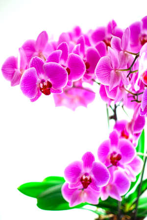 Lilac orchid on the window, a lot of flowers on the stems.